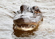 Louisiana Swamp Photos - Gator Eyes by Carol Groenen