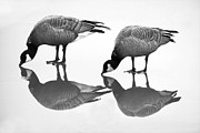 Tim Moore Metal Prints - Geese on Ice Metal Print by Tim Moore