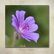 Geranium Maculatum Print by John Edwards