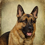 Alsatian Framed Prints - German Shepherd Portrait Framed Print by Sandy Keeton
