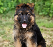 Shepherds Posters - German Shepherd Puppy Poster by Sandy Keeton