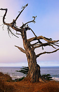 Beach Pictures Prints - Ghost Tree in Carpinteria Print by Ron Regalado