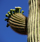 Anne Gordon - Giant Saguaro cactus