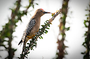 Bird-like Framed Prints - Gila Woodpecker Framed Print by Robert Bales