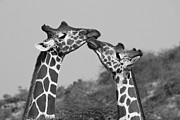Michele Burgess - Giraffe Kisses