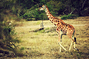 Slim Photo Prints - Giraffe on African savanna Print by Michal Bednarek