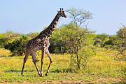 Slim Photo Prints - Giraffe on savanna. Safari in Serengeti Print by Michal Bednarek