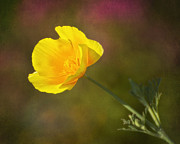 Ca Poppies Prints - Golden Print by Claudia Kuhn