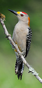 Dave Mills - Golden Fronted Woodpecker
