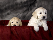 Golden Retriever Puppies Print by Angel  Tarantella
