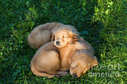 Golden Retriever Puppies Sleeping Print by Linda Freshwaters Arndt