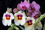 Row Photos - Gorgeous Orchids by Garry Gay