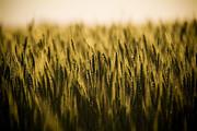 Tim Hester - Grain Fields