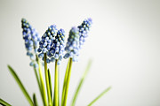 Green Seasonal Prints - Grape Hyacinth Print by Nailia Schwarz