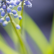 Silke Magino Acrylic Prints - Grape hyacinth Acrylic Print by Silke Magino