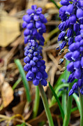 Grape Cards Posters - Grape Hyacinths  Poster by Larry Bishop
