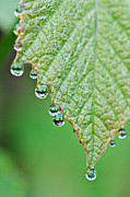 Grape Leaf Prints - Grape Leaves with Tiny Droplets Print by Lila Fisher-Wenzel
