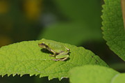 Dick Todd - Gray treefrog