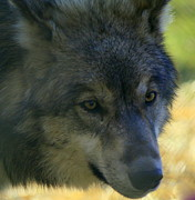 Gray Wolf Print by Neal  Eslinger