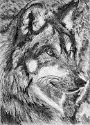 Closeups Drawings Posters - Gray Wolf Watches and Waits Poster by J McCombie