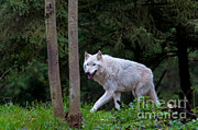Gray Wolf White Morph Print by Mark Newman