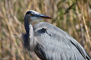 Heron Portrait Posters - Great Blue Heron - Close up Poster by Christiane Schulze