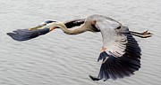 Great Blue Heron In Flight Print by Paulette  Thomas