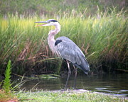 Animals Metal Prints - Great Blue Heron Metal Print by Kim Bemis