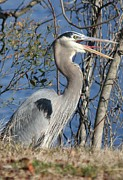 Sheellah Kennedy Posters - Great Blue Heron Poster by Sheellah Kennedy