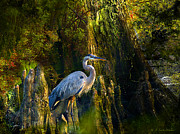 Cypress Knees Digital Art Posters - Great Blue Heron Slowly Strolling Poster by J Larry Walker