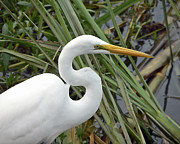 White Egret Posters - Great Egret Close Up Poster by Al Powell Photography USA