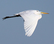 John Dart - Great Egret Flight