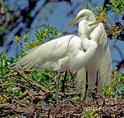 Millard H Sharp - Great Egret
