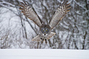 Animals Prints - Great Gray Owl Print by Michael Cummings