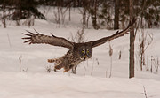 Josef Pittner - Great Grey Owl