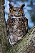 Great Birds Posters - Great Horned Owl Poster by Dale Kincaid