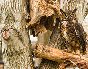 Reelfoot Lake Posters - Great Horned Owl Poster by Douglas Barnett