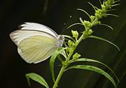 Saija  Lehtonen - Great Southern White Butterfly