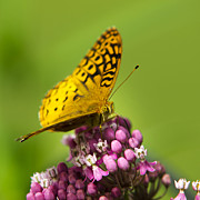 Black Wings Prints - Great Spangled Fritillary Butterfly Print by Christina Rollo