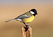 Grant Glendinning - Great tit