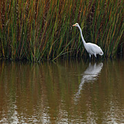 Low Country Scene Posters - Great White Egret and Reflection Poster by Suzanne Gaff