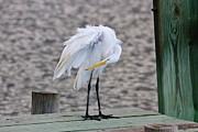 Thomas Photography  Thomas - Great White Egret on the Trunk