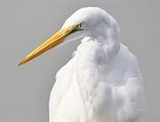 Thomas Photography  Thomas - Great White Egret Portrait