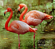 Greater Flamingo Framed Prints - Greater Flamingoes Phoenicopterus Ruber Framed Print by Millard H. Sharp