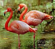Greater Flamingoes  Print by Millard H Sharp