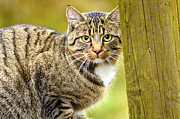 Mammals Originals - Green-eyed cat  by Tommy Hammarsten
