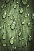 Dewdrops Photo Posters - Green leaf abstract with raindrops Poster by Elena Elisseeva