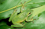 Toe Pad Framed Prints - Green Tree Frog Framed Print by Millard H. Sharp