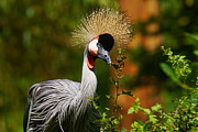 Nick  Biemans - Grey Crowned Crane