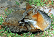 Grey Fox Print by Millard H. Sharp